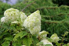 Twenty Evergreen Shrubs For Non-Stop Color | HGTV Hydrangea Varieties, Hydrangea Shrub, Hydrangea Quercifolia, Hydrangeas, Hydrangea Garden, Lilacs, Tulips, Evergreen Shrubs, Flowering Shrubs