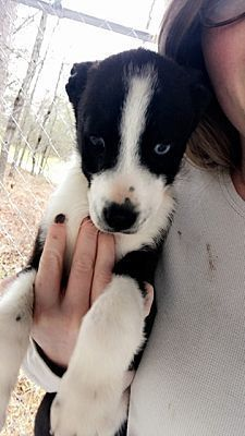 Pictures Of Pastor A Border Collie For Adoption In New York Ny