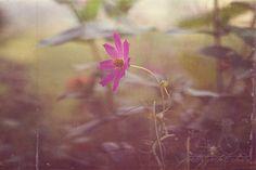 Fine Art Photograph Cosmo Flower Botanical by PrettyPetalStudio, $30.00