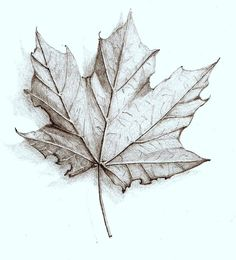 One of my first drawing exercises. A good example of choosing a common object and practice the pencil marks. Graphite Drawings, Pencil Art Drawings, Art Sketches, Maple Leaf Drawing, Fall Leaves Tattoo, Close Up Art, Leaves Sketch, Frankenstein Art, Nature Sketch