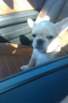 """""""Let's go for a RIDE, she said. It'll be FUN, she said."""", annoyed French Bulldog Puppy after her surprise Vet Visit. Bulldog Puppies, Cute Puppies, Cute Dogs, Dogs And Puppies, Doggies, Love My Dog, Baby Animals, Funny Animals, Cute Animals"""