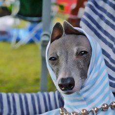 Chloe . Italian Greyhound