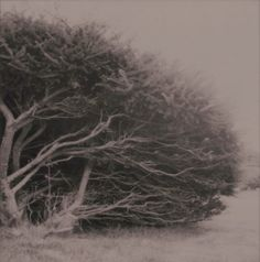 Craggy  Art Nature Photography Weathered Foggy Bush by sMacshop, $42.00