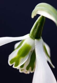 10 beautiful and unusual double snowdrops----Heffalump. A graceful snowdrop with a rather ungraceful moniker, this snowdrop was found by the plantswoman Primrose Warburg in her garden in the 1980s. It was christened for her husband's family nickname.Picture: Alamy