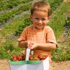 Zelf aardbeien, bessen en kersen plukken in Zeeland