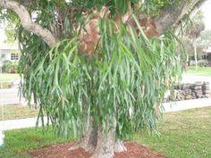Staghorn Ferns For Sale