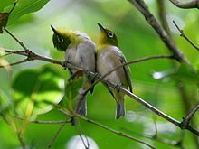 The Japanese White-eye (Zosterops japonicus), also known as the mejiro is a small passerine bird in the white-eye family.