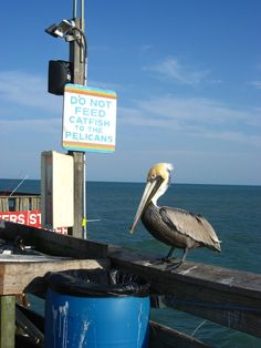 Cocoa Beach, Fl -   Hmmm.  I think I recognize this pelican ; )  Took a picture very similar to this in Cocoa Beach last week!