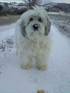 Polish Lowland Sheepdog photo | ... and other musings.....: Polish Lowland Sheepdog after an ice storm