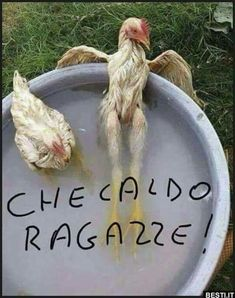 Rooster, Animals, Video, Biscotti, Happy, Sarcasm, Pretty Quotes, Italy, Animales