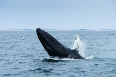 """©2010 JulieTremblay; """"PTown Whale"""": Provincetown, MA"""