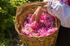 Have you heard of Rose Valley in Bulgaria and the famous rose picking festival?