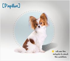 "Did you know that ""Papillon,"" in French, translates to ""butterfly,"" which this breed's ears resemble? Read more about this breed by visiting Petplan pet insurance's Condition Checker!"
