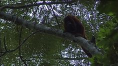 Monkey at River in Amazon Rainforest in Peru