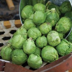 Franklin Brussels Sprouts