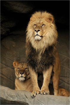Lion Photo by Svenimal Lion Images, Lion Pictures, Animal Pictures, Big Cats, Cool Cats, Cats And Kittens, Beautiful Lion, Animals Beautiful, Animals And Pets