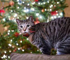 CONGRATS @gretchen_and_leo  Thanks for tagging ... Follow us on Instagram :D #cats #cat #catlover #lovecats #funny #fun #cute #socute #feline #felines #felinefriend #fur #furry #paw #paws #kitten #kitty #kittens #kittycat #kittylove #fluffy #fluff