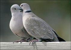 beautiful dove - Google 検索