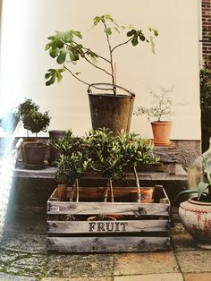 Potted plants on a low concrete bench. Fig tree. From 'The Stuff of Life' by Hilary Robertson