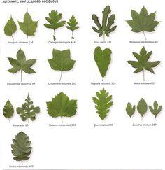 Search results for: identifying trees Oak Leaves, Tree Leaves, Plant Leaves, Trees And Shrubs, Trees To Plant, Conifer Trees, Tree Leaf Identification, Michigan Trees, Logo Fleur