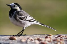 A striking bird full of character.  Pied Wagtail at Cresties Neuk