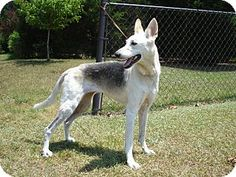 greyhound x german shepherd mix dogs