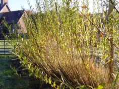 Willow for basketmaking at Seafield