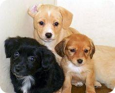 """border collie irish setter mix"" | Irish Setter Dogs/Mixes ..."
