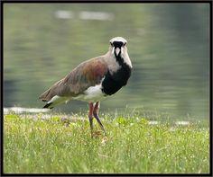 Quero-Quero, a ave-símbolo do Uruguai e do Estado brasileiro do Rio Grande do Sul: http://pt.wikipedia.org/wiki/Quero-quero