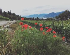 What's better than poppies in the breeze in a vineyard in the Okanagan in Naramata? @nicholvineyard @discover_naramata by the_field_guide