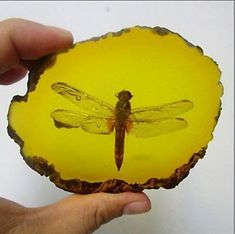 Amber Dragonfly Fossil Insects Manual Polishing for sale online Ancient Aliens, Rocks And Gems, Rocks And Minerals, Dinosaur History, Foto Macro, Amber Fossils, Dragonfly In Amber, Dinosaur Fossils, American Indians