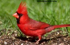 Large, a prominent crest, short and thick bill and a long-tail, these are some of the characteristics of a northern cardinal bird. Description from top100arena.com. I searched for this on bing.com/images