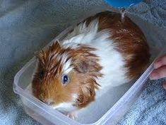 Imagini pentru guinea pig bath