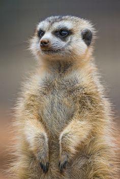 Nice fluffy meerkat (by Tambako the Jaguar)