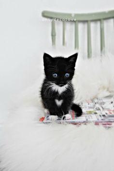 blue-eyed black and white kitten