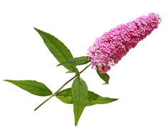 http://www.floranazahrade.cz/komule-se-spoustou-kvetu/