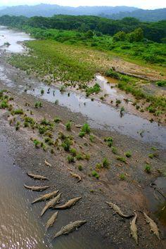 Cocodrilos en el Río Tárcoles, Costa Rica