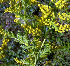 Egynyári üröm a gyomorrák ellen Artemisia Annua, Greek Flowers, Salud Natural, Forest Mountain, Young Living Oils, Small Leaf, Tree Forest, Flowering Trees, Alternative Medicine
