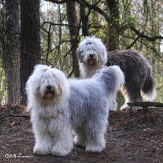 old english sheepdog: 26 тыс изображений найдено в Яндекс.Картинках