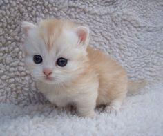 El Munchkin es una raza de gato surgida por una mutación genética natural, mantenida por cruzamientos selectivos, que da lugar a gatos con piernas más cortas de lo normal.