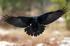 raven flying - Google Search