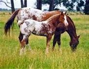 appaloosa horse - Bing Images