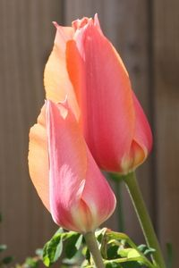 Garden designers tulip called 'Perestroyka'