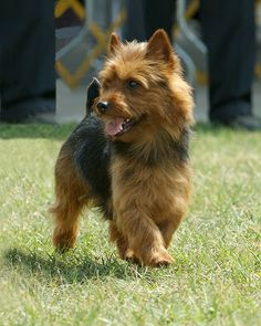Australian Terrier Dog is descended from the rough coated type terriers brought from Great Britain to Australia in the early 19th century. The ancestral types of all of these breeds were kept to eradicate mice and rats. The Australian Terrier shares ancestors with the Cairn Terrier, Shorthaired Skye Terrier, and the Dandie Dinmont Terrier; Yorkshire Terriers and Irish Terriers were also crossed into the dog during the breed's development.