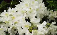 Magical white gardens are easy to achieve at home. TV Gardener David Domoney chooses his top white plants for chic, elegant flowers. Small Garden Shrubs, White Flowering Shrubs, Planting Shrubs, Planting Flowers, Elegant Flowers, White Flowers, Evergreen Garden, Border Plants, White Plants