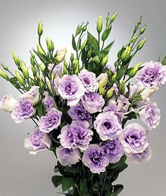 Super Magic Lavender Lisianthus Seeds and Plants, Annual Flower Garden at Burpee.com
