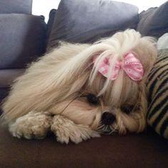 Puka - Puka é uma ShihTzu muito mimada e charmosa. Adora dormir e desfilar com seus lacinhos.