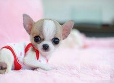 mini mini toy chihuahua