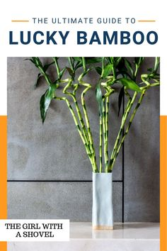 Check out this guide on how to keep your lucky bamboo plants alive! And feel free to download the free care pages while you're at it! Never wonder what your plant needs ever again! Bamboo Plant Care, Lucky Bamboo Plants, House Plants Decor, Plant Decor, All About Plants, Apartment Plants, Best Indoor Plants, Bedroom Plants, Plant Needs