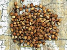 Red's Red Sweet Sorghum | Baker Creek Heirloom Seed Co